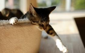 Обои кот, спит, сон, лапа, кошка
