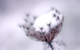 Обои холод, иней, макро, одуванчик, растение