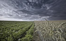Картинка поле, пейзаж, колосья, картошка