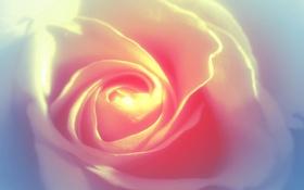 Обои нежность, роза, белая