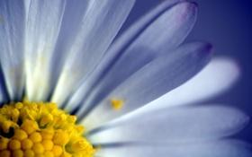 Обои цветок, макро, лепестки, flower