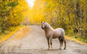 Обои осень, конь, дорога