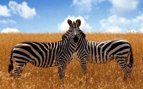 Картинка животные, белый, небо, трава, облака, полоски, природа