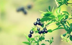 Обои Макро, Зелень, Природа, Фото, Листья, Ветка, Ягоды