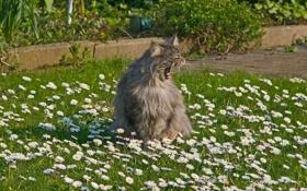 Картинка трава, кот, серый, ромашки, пушистый, зевает
