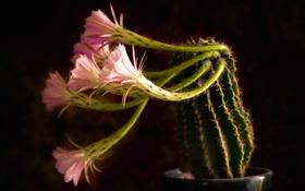 Обои цветок, цветы, растение, кактус, колючки, горшок