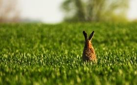 Обои заяц, поле, трава