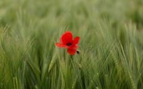 Картинка пшеница, поле, цветок, природа, мак