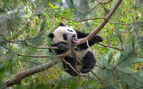 Обои дерево, bear, panda