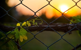 Картинка фон, сетка, забор, ростение