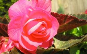 Обои природа, дача, цветы