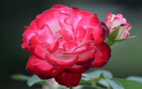 Картинка листья, цветок, куст, роза, лепестки, бутон