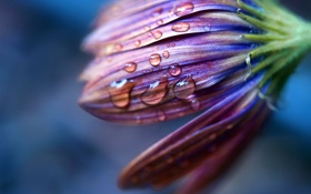 Обои цветок, капли, макро, фото, растение, лепестки