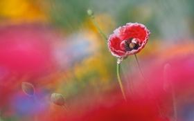 Картинка цветок, фон, мак, размытость, бутоны, бело-красный