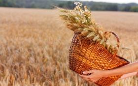Обои field, hands, wheat, basket