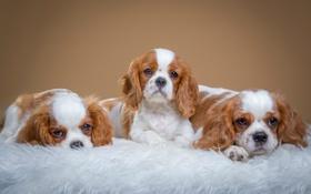 Обои щенки, пятнистые, трио, милые, спаниели