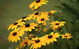 Картинка желтые, фон, рудбекия, цветы
