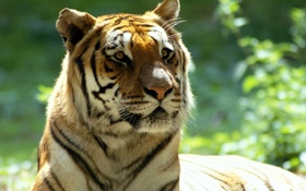 Обои тигр, уши, смотрит
