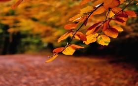 Картинка осень, листья, ветка, дорожка, оранжевые, усыпанная листвой
