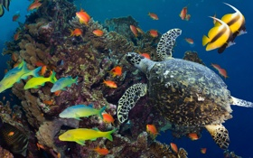 Обои море, рыбы, океан, черепаха, кораллы, подводный мир, разноцветные