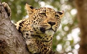 Картинка leopard, tree, feline