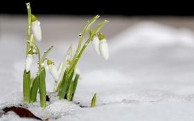 Картинка капли, снег, цветы, природа, весна