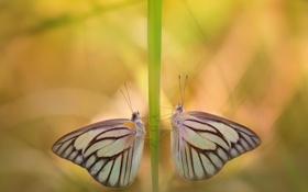 Обои макро, бабочки, насекомые