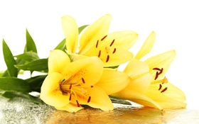 Обои yellow lilies, лепестки, drops, тычинки, leaves, petals, желтые лилии