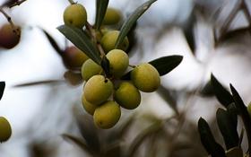 Картинка листья, ветки, растение, плоды, оливки