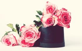 Обои розы, розовые, цветы