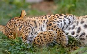 Обои кошка, трава, отдых, леопард, амурский