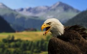 Картинка птица, хищник, Белоголовый орлан
