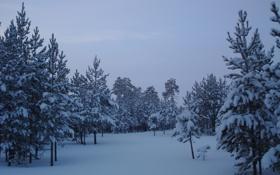 Обои снег, деревья, Лес