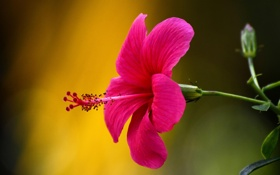 Картинка цветок, макро, гибискус