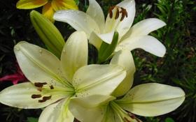 Обои лилии, белые, много
