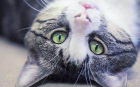 Обои глаза, макро, котик, котяра