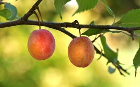 Обои ягоды, ветка, сад, сливы