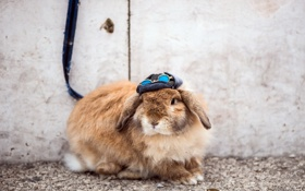 Обои rabbit, street, sunglas