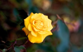 Обои роза, цветок. природа, лепестки, макро, желтая