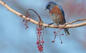 Картинка птица, ветка, ягоды