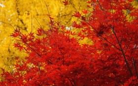 Картинка осень, листья, деревья, желтые, красные, клен, крона