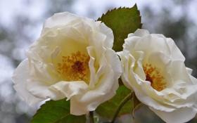 Обои листья, блики, фон, две, розы, белые, чайные