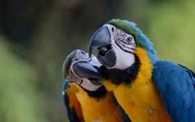 Обои птицы, яркие, попугаи, двое