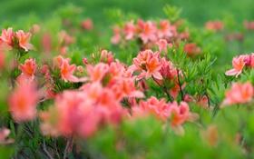 Обои листья, цветы, розовый, куст, нежно, азалии
