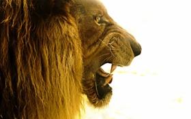 Картинка лев, царь, зверь