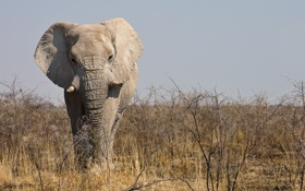 Обои саванна, Намибия, самец, Национальный парк Этоша (Etosha National Park), Африканский слон