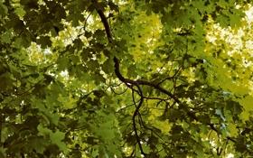 Обои листья, природа, фото, дерево