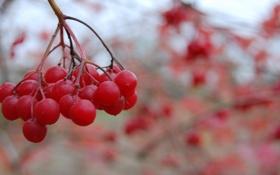 Обои листья, макро, веточка, Рябина, красная
