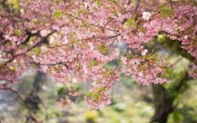 Картинка листья, весна, ветки, розовые, цветение, дерево, цветы