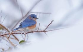 Обои восточная сиалия, зима, птица, ветка, краски, перья